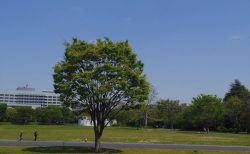広大すぎる国営昭和記念公園をのんびり散歩してきた