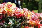【写真】旧古河庭園のバラに囲まれてきた