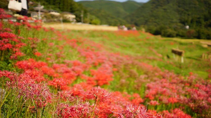 【写真】秩父・寺坂棚田の曼珠沙華(彼岸花)を見てきました